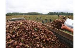 Свеклу из Украины запретили к продаже из-за повышенного содержания нитратов